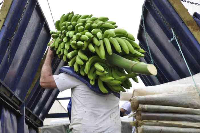 Plantación de Plátanos y Papayas. Tenerife © Rocío Pastor Eugenio ® WOMANWORD